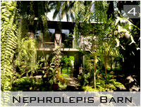 nephrolepis barn